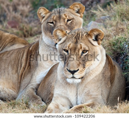 Pair of lionesses staring ahead in early morning