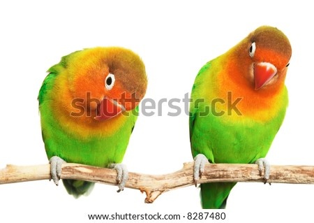 Pair of lovebirds agapornis-fischeri isolated on white - stock photo