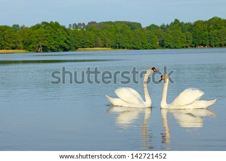 pair of lovers swans - stock photo