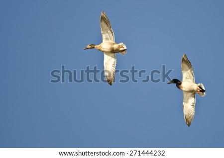 Pair of Mallard Ducks Flying in a Blue Sky - stock photo