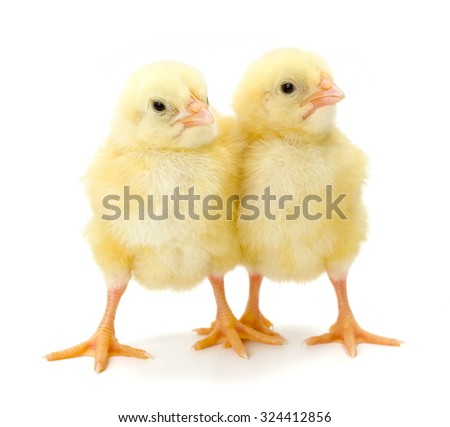 Pair of newborn yellow chickens standing together on white
