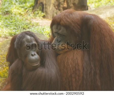 Pair of Orangutans - stock photo
