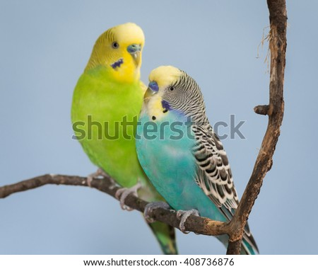 Pair of Parakeets perched on bare branch - stock photo