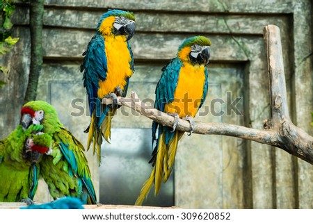 Pair of parrots, blue-and-yellow macaw (ara ararauna) sitting on a branch, focus on the blue-and-yellow parrots