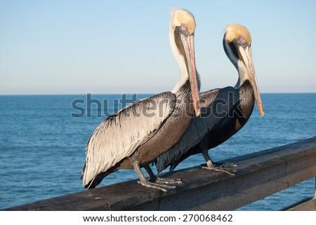 Pair of Pelicans - stock photo