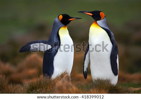 Pair of penguins. Mating king penguins with green background in Falkland Islands. Pair of penguins, love in the nature. Beautiful penguins in the nature habitat. Two birds in the grass. Two penguins. - stock photo