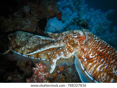 Pair of Pharaoh cuttlefish (Sepia pharaonis) in mating season in tropical coral reef. Female cuttle fish protected by male form their back. Richelieu Rock, Surin marine national park, Thailand