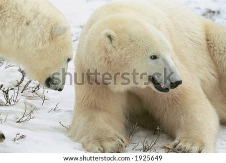 Pair of polar bears resting in tundra in Churchill, Canada (non captive) - stock photo