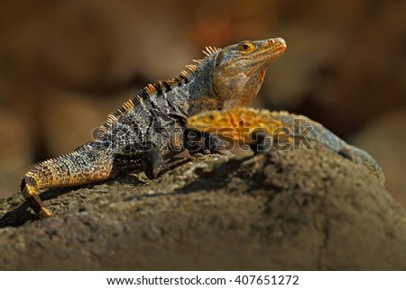 Pair of Reptiles, Black Iguana, Ctenosaura similis, male and female sitting on black stone, animal in the nature habitat, wildlife, Manuel Antonio national park, Costa Rica - stock photo
