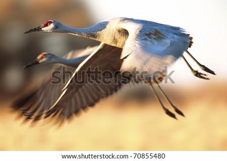 Pair of Sandhill Cranes in flight - stock photo