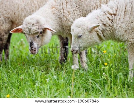 Pair of sheeps on the meadow