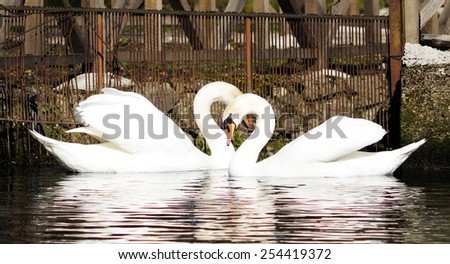pair of swans in the water exchange tenderness - stock photo