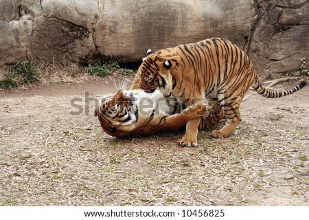 Pair of tigers fighting - stock photo