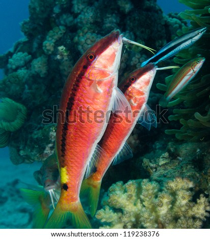 Pair of tropical fish being cleaned by a cleaner wrasse on a red sea coral reef - stock photo