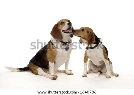 pair of typical pet beagles - 1 male, 1 female - stock photo