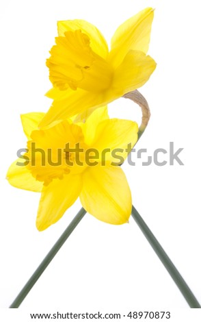 Pair of vibrant yellow daffodils entwined on white.