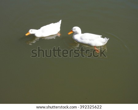 Pair of white ducks swimming in pond on sunny spring afternoon.