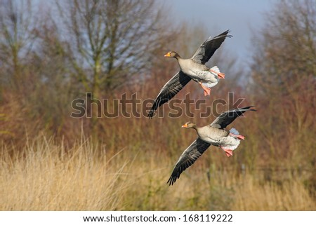 Pair of wild geese are landing - stock photo