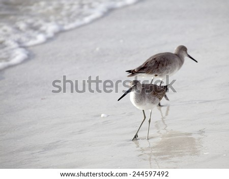 Pair of Willets on Beach - stock photo