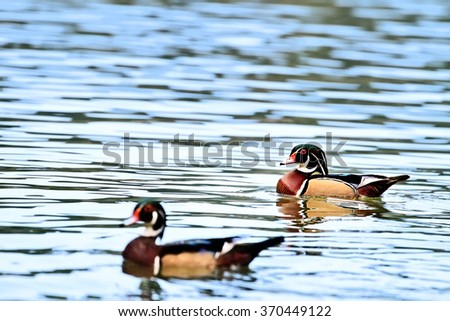 Pair of Wood Ducks swimming in a peaceful lake with selective focus on male and extreme shallow depth of field. - stock photo
