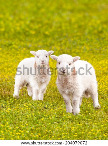 Pair of young baby lambs in a meadow full of wildflowers - stock photo