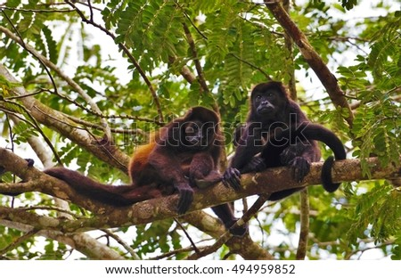 Pair of Young Howler Monkeys