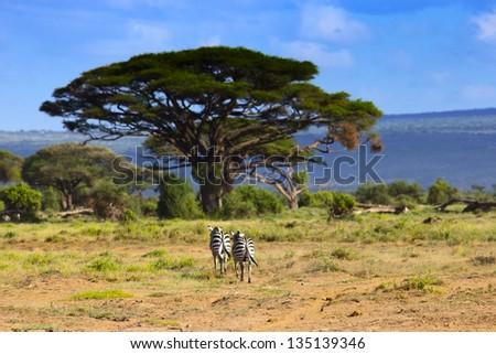 Pair of zebra in beautiful Kenyan landscape - stock photo