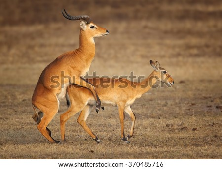 Pair reddish-brown antelope Kobus kob thomasi -- Uganda kob, territorial male in successful mating with female in their typical environment, dry brown blurred savanna in Murchison Falls,Uganda.. - stock photo
