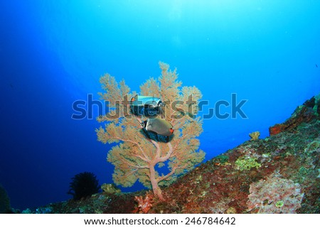 Pair Redtail Butterflyfish and coral underwater - stock photo