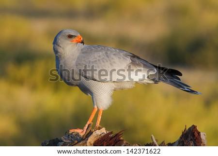 Pale Chanting Goshawk - stock photo