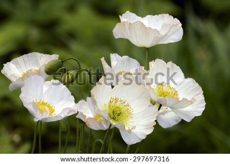 Pale cream poppies family in garden - stock photo