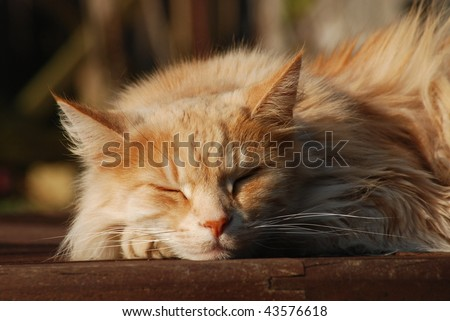 Pale ginger Maine Coon cat - stock photo