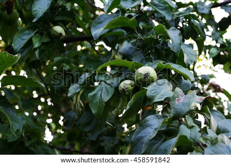 Pale green apples on branch among foliage. Ripe apples on the tree in nature, evening light - stock photo
