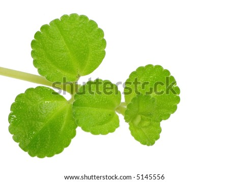 Pale green plant close up over white. - stock photo