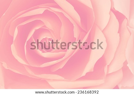 Pale orange rose, abstract background.