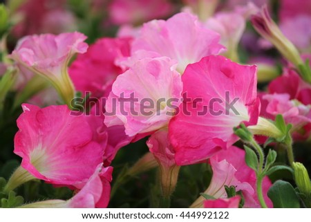 Pale Pink and Cerise Petunia Flowers in Summertime, England.