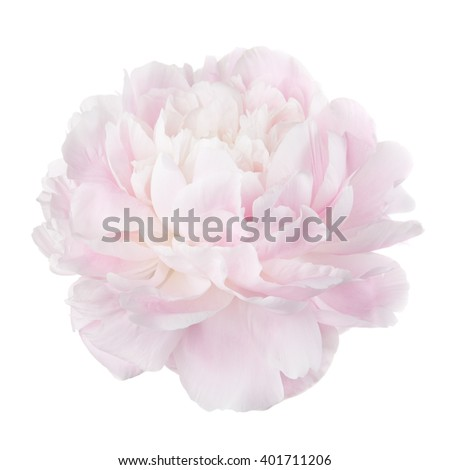 Pale pink peony flower isolated on white background - stock photo