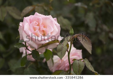 Pale Pink Rose Blooming in a Garden - stock photo