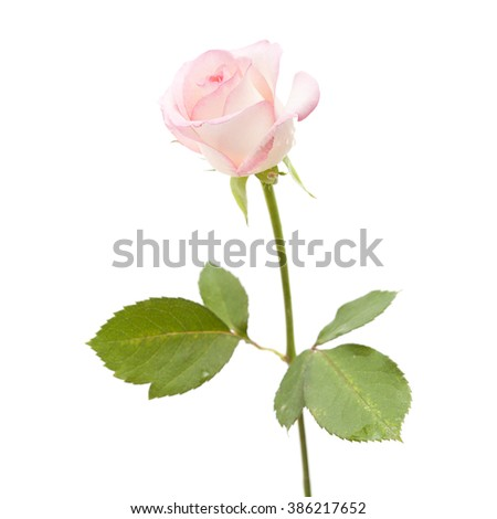 pale pink rose flower isolated on white background