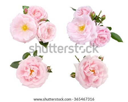 Pale pink roses and buds set isolated on white - stock photo