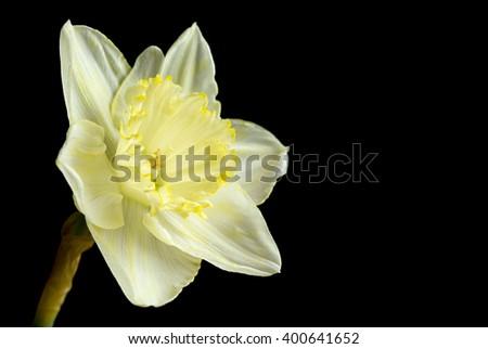 Pale yellow daffodil on black - stock photo