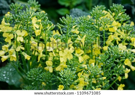 Pale yellow flowers overgrown broccoli plant stock photo royalty pale yellow flowers of an over grown broccoli plant closeup mightylinksfo