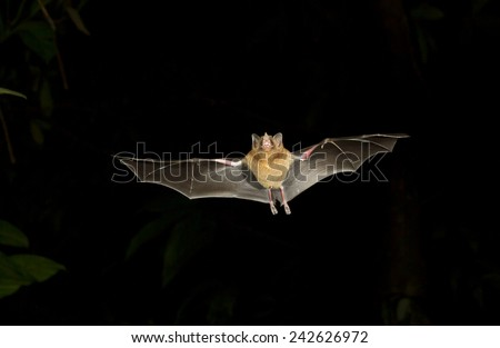 Pallas's long-tongued bat (Glossophaga soricina) flying at night. Tortuguero, Costa Rica. - stock photo