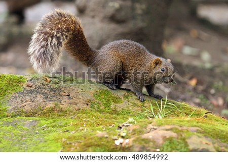 Pallas's squirrel (Callosciurus erythraeus), also known as the red-bellied tree squirrel sitting on a mossy stone