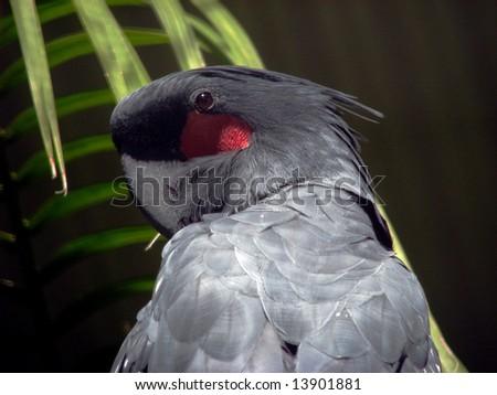 palm cockatoo - stock photo