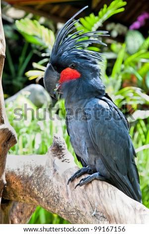 Palm Cockatoo Parrot in nature surrounding (Probosciger aterrimus), Bali, Indonesia - stock photo