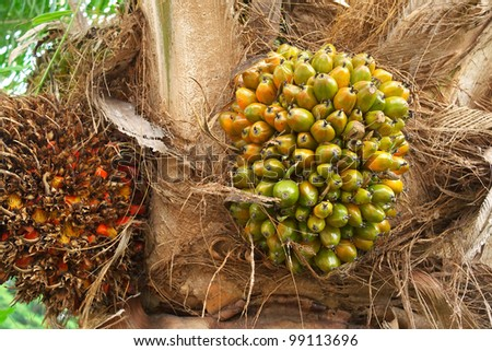 palm fruit on the tree - stock photo