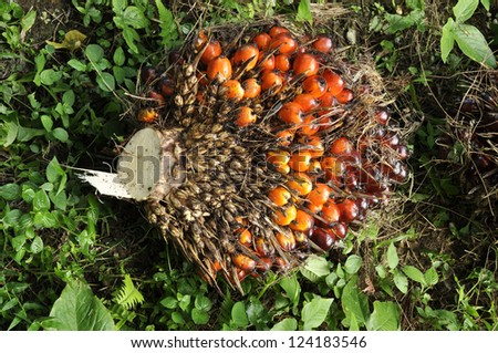 Palm Fruit Plat Seed Cluster - stock photo