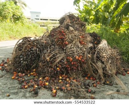 Palm fruits before being collected to be processed