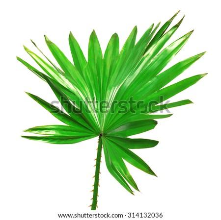 Palm leaf isolated on white background - stock photo